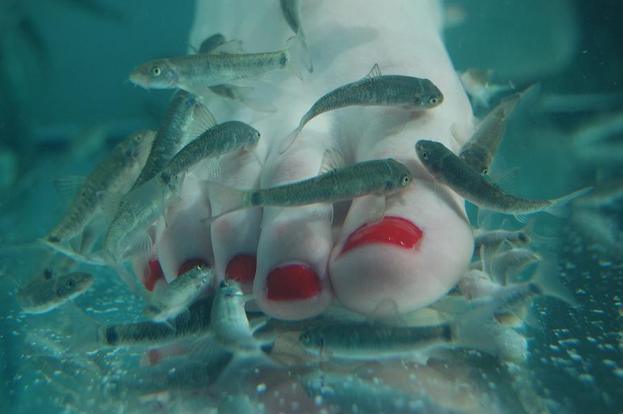 fish pedicure would you let dr fish work on your feet